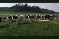 Bärnus Kühe