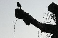 Krähe von Daniela Stuber